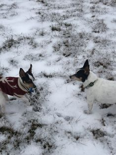 Friends are we Toy Fox Terriers, Boston Terrier, Friends, Dogs, Animals, Animais, Animales, Animaux, Boyfriends
