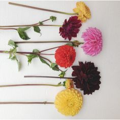 colorful dahlias. The House That Lars Built.: Flower overload