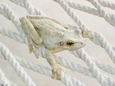 White Frog.