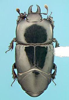 Histerid - Hololepta populnea - female