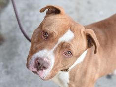TO BE DESTROYED 02/25/15- Brooklyn Center My name is PICKLES. My Animal ID # is A1028105. I am a male tan and white pit bull mix. The shelter thinks I am about 2 YEARS I came in the shelter as a STRAY on 02/16/2015 from NY 11218, owner surrender reason stated was ABANDON. https://www.facebook.com/photo.php?fbid=967177859961760  https://www.facebook.com/Urgentdeathrowdogs/photos/a.611290788883804.1073741851.152876678058553/967177859961760/?type=3&theater