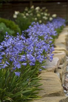 Agapanthus Baby Pete • Low maintenance and dry tolerant variety • Excellent for mass planting as a ground cover • Great edging plant against paths, driveways and other hard surfaces • Brilliant bright container display in hot sunny patios and courtyard locations