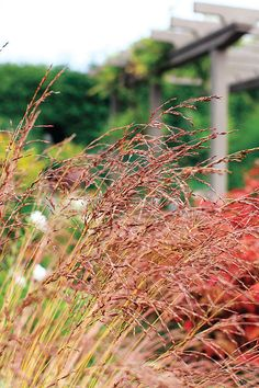 1000 images about ornamental grass on pinterest for Short variegated grass