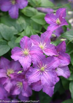 Jolly Good™ clematis liners from Spring Meadow Nursery. Clematis Plants, Perennial Flowering Plants, Clematis Flower, Clematis Vine, Flowering Vines, Garden Plants, Perennials, Gardening Vegetables, Flower Gardening