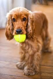 Die 221 Besten Bilder Von Cooler Spaniel In 2019 Hunde Englischer