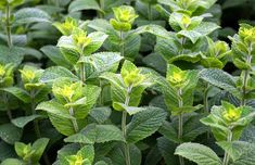 Don't let another season pass without growing mint in your garden! This guide will show you how to care for these versatile plants. Plants That Repel Ants, Plants For Chickens, Cool Plants, Peppermint Essential Oil Benefits, Best Essential Oils, Growing Vegetables Indoors, Easy Vegetables To Grow, Insect Repellent Plants, Oils For Sore Throat