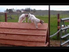 #goatvet likes this low cost baby goat shelter and play toy- and these Boer goat kids like it as well
