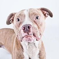 Pictures of Smudge a Pit Bull Terrier for adoption in Dallas, GA who needs a loving home.