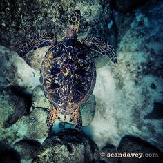 Hawaiian sea turtles have excellent camofluage around rocks and stuff. by Sean Davey Photography, via Flickr