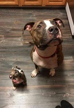 Pitbull Lovers: The 20 Most Adorable Pit Bull Puppy Pictures Ever 2018 2019 Cute Funny Animals, Cute Baby Animals, Animals And Pets, Puppy Pictures, Animal Pictures, Beautiful Dogs, Animals Beautiful, Cute Puppies, Cutest Animals