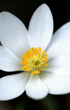 Bloodroot Close-up