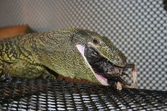crocodile monitor | Monitors - Crocodile Monitor pics