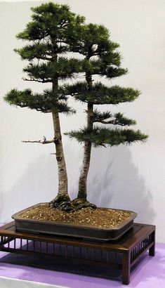 Twin trunk Cedar of Lebanon bonsai tree