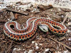 Snake, language, coast garter