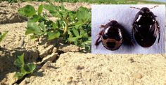 Peanut farmers who don't know the peanut burrower bug are fortunate. Growers who've battled the yield- and quality-reducing pest know something needs to be done to control it, and those growers can help find answers.