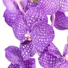 Google Image Result for http://www.fiftyflowers.com/site_files/FiftyFlowers/Image/Product/Purple-Bicolor-Vanda-Orchid-Flower-Rothschildiana-350.jpg