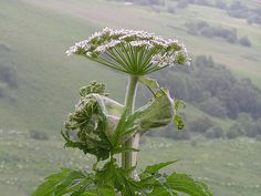 Hogweed: Plant that can cause blindness is spreading across N. This plant is also sold; do not buy & get rid of it if growing wild. Invasive Plants, Sustainable Fashion, Wilderness, Sustainability, Blinds, Dandelion, Seeds, Earth