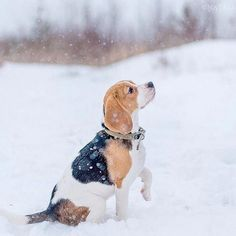 Are you interested in a Beagle? Well, the Beagle is one of the few popular dogs that will adapt much faster to any home. Cute Beagles, Cute Puppies, Cute Dogs, Dogs And Puppies, Doggies, Doki, Beagle Puppy, Puppy Eyes, Beautiful Dogs