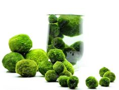 ALL sizes MARIMO MOSS BALLS Cladophora. MARIMO living moss ball suitable for cold or tropical aquariums. Excellent gift for your friend or loved ones to signify everlasting love. The Japanese believe that Marimo will bring good luck. Live Aquarium Plants, Tropical Aquarium, Aquarium Fish Tank, Planted Aquarium, Live Plants, Tropical Fish, Big Fish Tanks, Fish Tank Gravel, Marimo Moss Ball