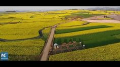 The size of the rapeseed flowers in SW China's Yunnan Province is equivalent to about 70,000 football fields. Enjoy the aerial view of the amazing blossoming flowers.
