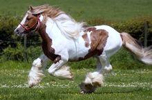 shayrskaya horse