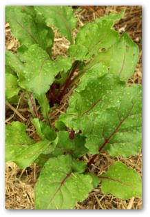 Mulching beets helps prevent weeds from sprouting, and also helps conserve water.
