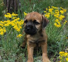 Our new puppy - hopefully. A sweet border terrier we will meet tomorrow!