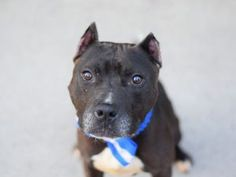 SUPER URGENT 06/26/16  ***SOCIAL HELPER DOG*** Another owner surrender do to moving to a place that doesn't allow dogs. NYC needs to change these rules so people can keep their pets. For now, Apollo is trying to remain calm even though the anxiety level he is experiencing is making it difficult. He aced his intake by allowing all handling by the assessor. His former owner left glowing notes of how well he played with three children in the home and how much he loved to follow the owner…