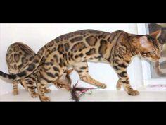 Best Bengal Cats or Kittens -  TOP 10 Video Cute Kittens Compilation https://www.youtube.com/watch?v=6_B5lIpyYzg&list=PLC_HjotBFMpO7NPxbP_qDPYfqbhYgFkct