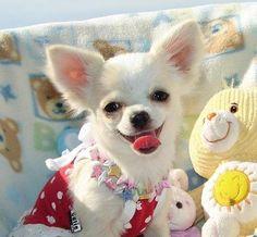 Classified ads in Ajman Apple Head Chihuahua, Chihuahua Puppies, Chihuahuas, Used Cars, Puppy Love, Adoption, Cute Animals, Teddy Bear, Pets