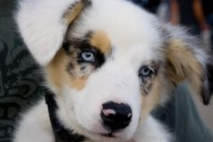 australian shepherd puppy... oh sweet goodness. i want one of these to be my next baby!
