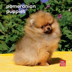 Pomeranian Puppies Mini Wall Calendar: Already bold and curious, Pomeranian puppies are lovable little fluffballs. These puppies won't outgrow their sprightly ways, but they will come to appreciate a bit of pampering. $7.99 http://calendars.com/Pomeranians/Pomeranian-Puppies-2013-Mini-Wall-Calendar/prod201300004663/?categoryId=cat10137=cat10137#