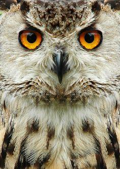 photo: owl face 2 | photographer: Mark Davies | WWW.PHOTODOM.COM