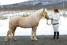 Ishavs Up N - Looks like a Honey Roan (Palomino + Roan) Pretty Horses, Horse Love, Beautiful Horses, Bay Horse, Blue Roan, New Forest, Show Jumping, Palomino, Horse Breeds