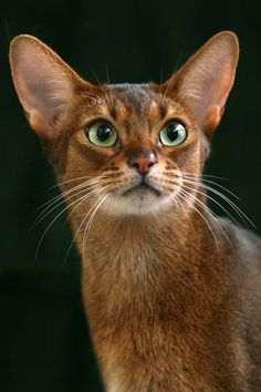 Abyssinian cat breeds resembles the famous sculptures and paintings of ancient Egyptian cats that had elegant beautiful, muscular body with an arched neck, beautifully shaped eyes that look very much like an almond and large sized ears. Pretty Cats, Beautiful Cats, Cute Cats And Kittens, Cool Cats, African Wild Cat, Gato Grande, Egyptian Cats, Cat Facts, Warrior Cats