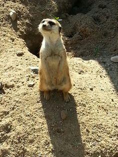Compare the Meerkat!! Taken at Prague Zoo