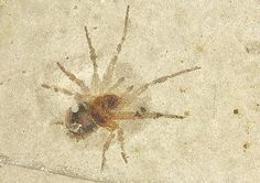 Ragno con ragnatela fossile, Fossile Spinne mit Netz, Spider Top fossil Sp001