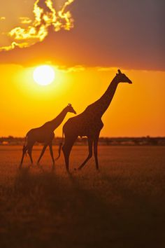 Giraffes In Central Kalahari Game Reserve, Botswana