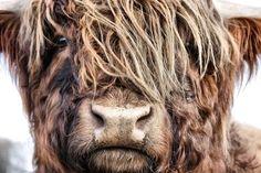 Foto Schotse Hooglander door ENRICO Highland Cow Art, Scottish Highland Cow, Highland Cattle, Nature Animals, Farm Animals, Animals And Pets, Cute Animals, Galloway, Fluffy Cows