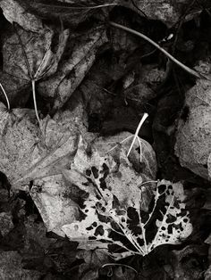 decayed leaves black & white