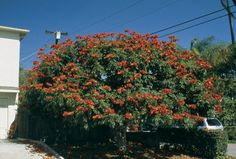 African tulip tree (Spathodea campanulata). Photographs by Don Walker - See more at: http://www.pacifichorticulture.org/articles/african-tulip-tree-2/#sthash.Idbg4iJn.dpuf
