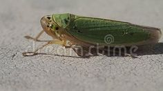 Video about A little green cicada, close frame. Video of wild, waiting, fauna - 102641213 Frame, Green, Animals, Insects, Picture Frame, Animales, Animaux, Animal, Animais