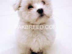 Free ads, Pakistan National Animal, Free Ads, Pakistan, Teddy Bear, Dogs, Animals, Animales, Animaux, Pet Dogs