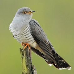 Sounds of Cuckoo Bird | NATURE MOBILE
