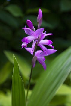 Bletilla striata is a surprisingly hardy orchid, even into USDA Zone 5 with a heavy mulch. They easily succeed in USDA Zone 6 with only a moderate mulch of straw or leaves. Often labelled simply as 'Hardy Orchid' or 'Chinese Ground Orchid'.