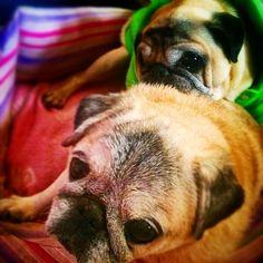 These are two adorable elderly rescue pugsies. They were adopted by our awesome host on Barcelona ;) and they really should get a room  #rescue #animals #pugs #dogs #love #cute #dog #pug #adorable  P.S. Pugs are adorable and are becoming very trendy (unfortunately because they tend to have too many health problems) but if you're thinking of getting one please remember that they could mean lots of get visits and it's a commitment you are making to this animal in sickness and in health - not…