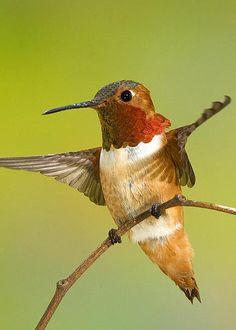 Allen's Hummingbird Male by Anthony Mercieca All Birds, Little Birds, Hummingbird Moth, Kingfisher, Family Love, Bird Watching, Beautiful Birds, Cute Animals, Greeting Cards