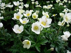 The Snowdrop anemone, Anemone sylvestris, for the front and/or box gardens