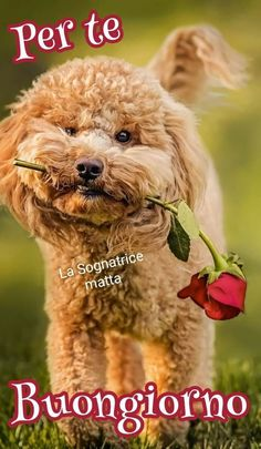 Italian Memes, Teddy Bear, Dogs, Anime, Good Morning Wishes, Pet Dogs, Teddy Bears, Doggies, Cartoon Movies