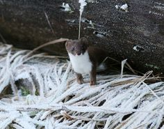 Stoat (Mustela erminea), also known as the short-tailed weasel, Photographer: Jan Larsson Ferret, World, Animals, Wallpaper, The World, Animais, Wallpaper Desktop, Animales, Animaux
